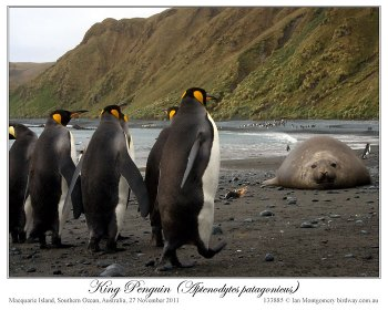 King Penguin (Aptenodytes patagonicus) 6 by Ian