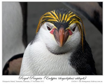 Royal Penguin (Eudyptes schlegeli) by Ian 1