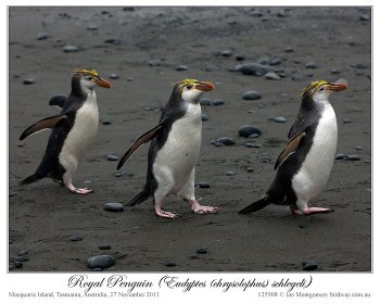 Royal Penguin (Eudyptes schlegeli) by Ian 2