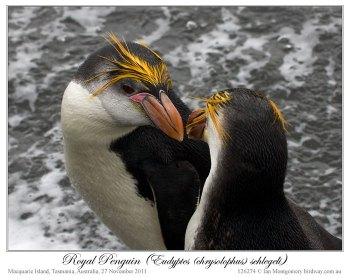 Royal Penguin (Eudyptes schlegeli) by Ian 3