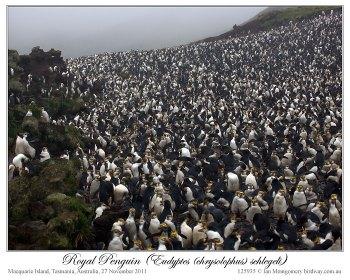 Royal Penguin (Eudyptes schlegeli) by Ian 4
