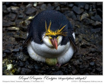 Royal Penguin (Eudyptes schlegeli) by Ian 5