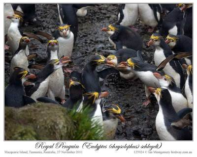 Royal Penguin (Eudyptes schlegeli) by Ian 6