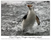 Royal Penguin (Eudyptes schlegeli) by Ian 7