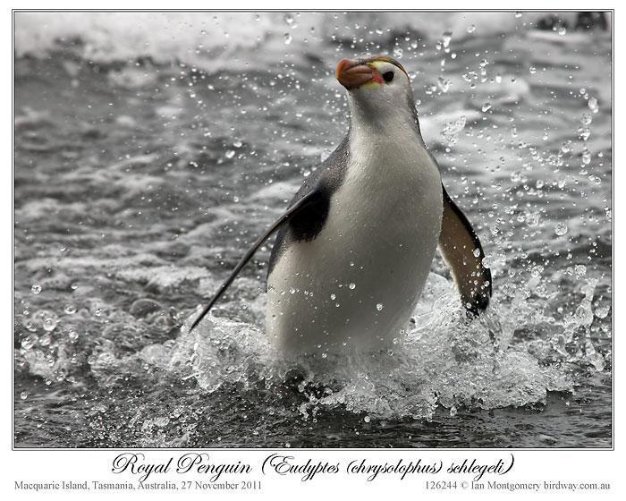 Royal Penguin (Eudyptes schlegeli) by Ian 7