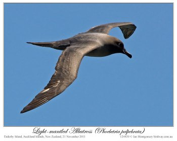 Light-mantled Albatross (Phoebetria palpebrata) by Ian 1