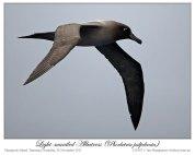 Light-mantled Albatross (Phoebetria palpebrata) by Ian 2