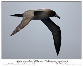 Light-mantled Albatross (Phoebetria palpebrata) by Ian 2