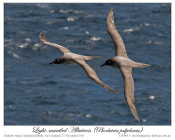 Light-mantled Albatross (Phoebetria palpebrata) by Ian 3