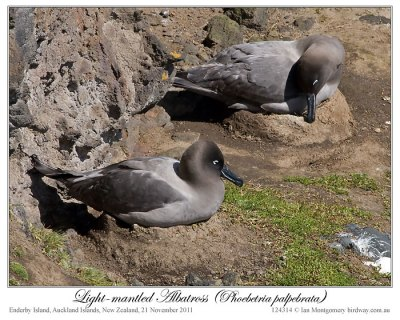Light-mantled Albatross (Phoebetria palpebrata) by Ian
