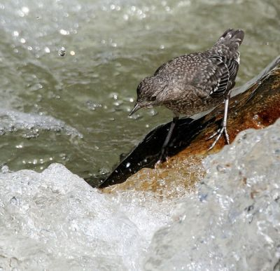 Brown Dipper (Cinclus pallasii) WikiC