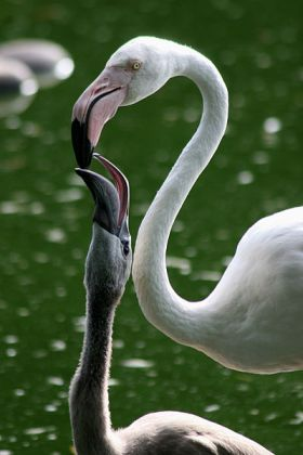 Greater Flamingo (Phoenicopterus roseus) - One Greater Flamingo-chick in Zoo Basel is fed on crop milk.