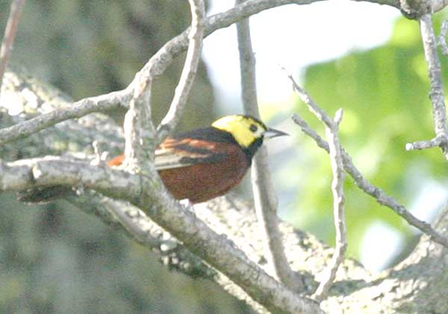 Orchard Oriole (Icterus spurius) by Kent Nickell