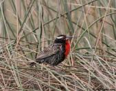 Peruvian Meadowlark (Sturnella bellicosa) By BirdPhotos.Com