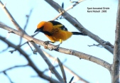 Spot-breasted Oriole (Icterus pectoralis) by Kent Nickell