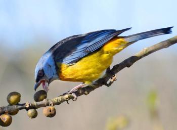 Blue-and-yellow Tanager (Thraupis bonariensis bonariensis) ©BirdPhotos.com