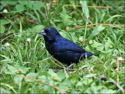 Blue-black Grassquit (Volatinia jacarina) by Ian