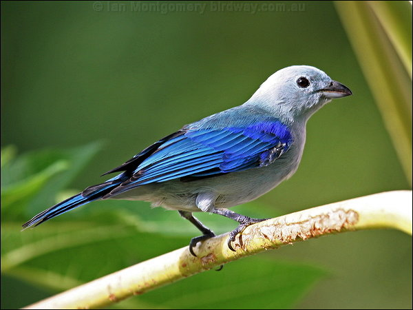 Blue-grey Tanager (Thraupis episcopus) by Ian