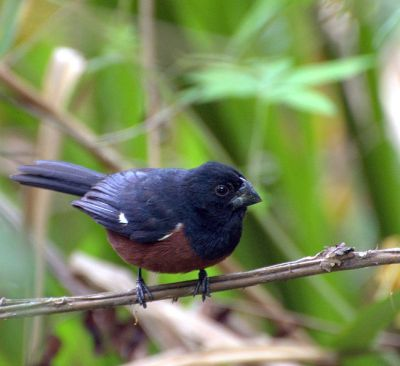 Chestnut-bellied Seed Finch (Oryzoborus angolensis) ©WikiC