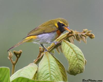 Guira Tanager (Hemithraupis guira) Male ©BirdPhotos.com
