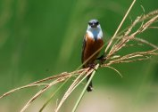Marsh Seedeater (Sporophila palustris) ©WikiC