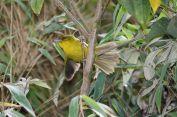 Parodi's Hemispingus (Hemispingus parodii) ©WikiC