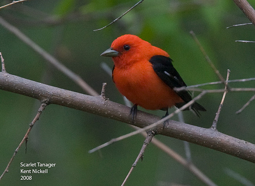 Scarlet Tanager (Piranga olivacea) by Kent Nickell