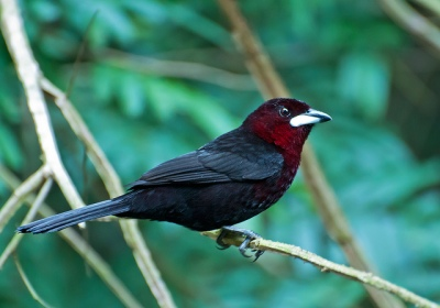 Silver-beaked Tanager (Ramphocelus carbo) by Dario Sanches
