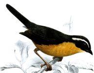 Slaty-backed Hemispingus (Hemispingus goeringi) Drawing ©WikiC
