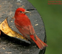 Summer Tanager (Piranga rubra) male by Kent Nickell