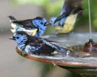 Turquoise Tanager (Tangara mexicana) bathing ©BirdPhotos.com