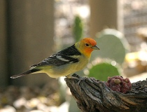 Western Tanager (Piranga ludoviciana) by Kent Nickell