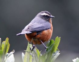 Birds In Christmas Hymns – The Worcester Christmas Carol(Re-post)