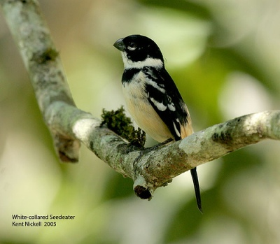 White-collared Seedeater (Sporophila torqueola) male by Kent Nickell