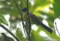 White-throated Shrike-Tanager (Lanio leucothorax) by Michael Woodruff