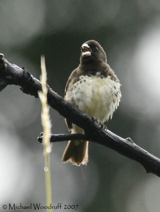 Yellow-bellied Seedeater (Sporophila nigricollis) by Michael Woodruff