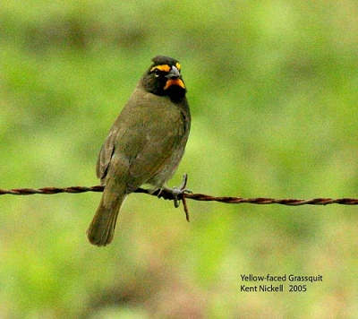Yellow-faced Grassquit (Tiaris olivaceus) by Kent Nickell