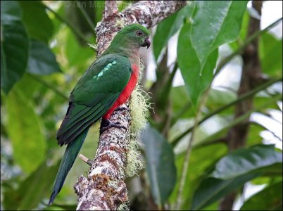 Australian King Parrot (Alisterus scapularis) Female by Ian