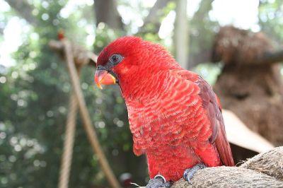 Cardinal Lory (Pseudeos cardinalis) Busch Gardens, Tampa Bay WikiC
