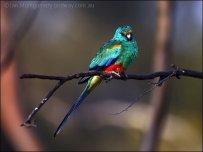 Mulga Parrot (Psephotus varius) by Ian