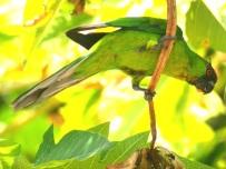 Ouvea Parakeet (Eunymphicus uvaeensis) ©WikiC