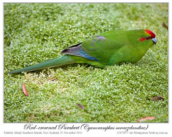 Red-crowned Parakeet (Cyanoramphus novaezelandiae) by Ian 1