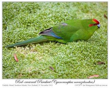 Red-crowned Parakeet (Cyanoramphus novaezelandiae) by Ian 1