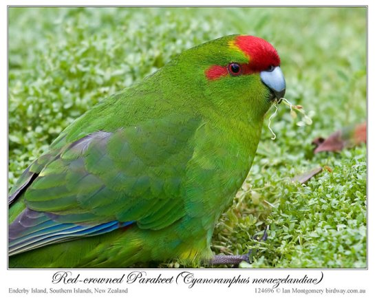 Red-crowned Parakeet (Cyanoramphus novaezelandiae) by Ian 3