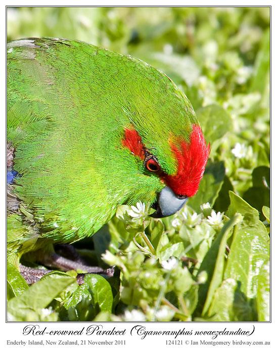 Red-crowned Parakeet (Cyanoramphus novaezelandiae) by Ian 4