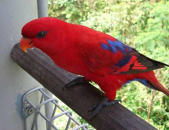 Red Lory (Eos bornea) ©WikiC