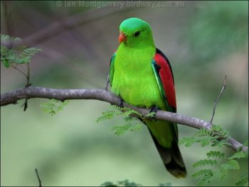 Red-winged Parrot (Aprosmictus erythropterus) by Ian