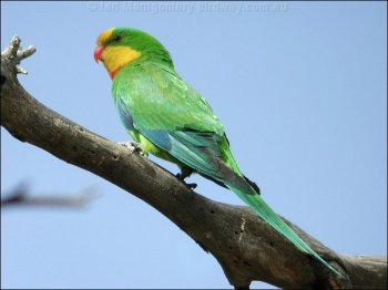 Superb Parrot (Polytelis swainsonii) by Ian