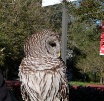 Northern Barred Owl (Strix varia) LPZ by Lee