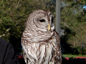 Northern Barred Owl (Strix varia) LPZ by Lee